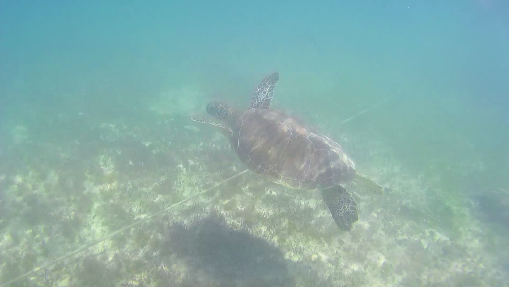 turtle swimming in the blue sea in Akumal