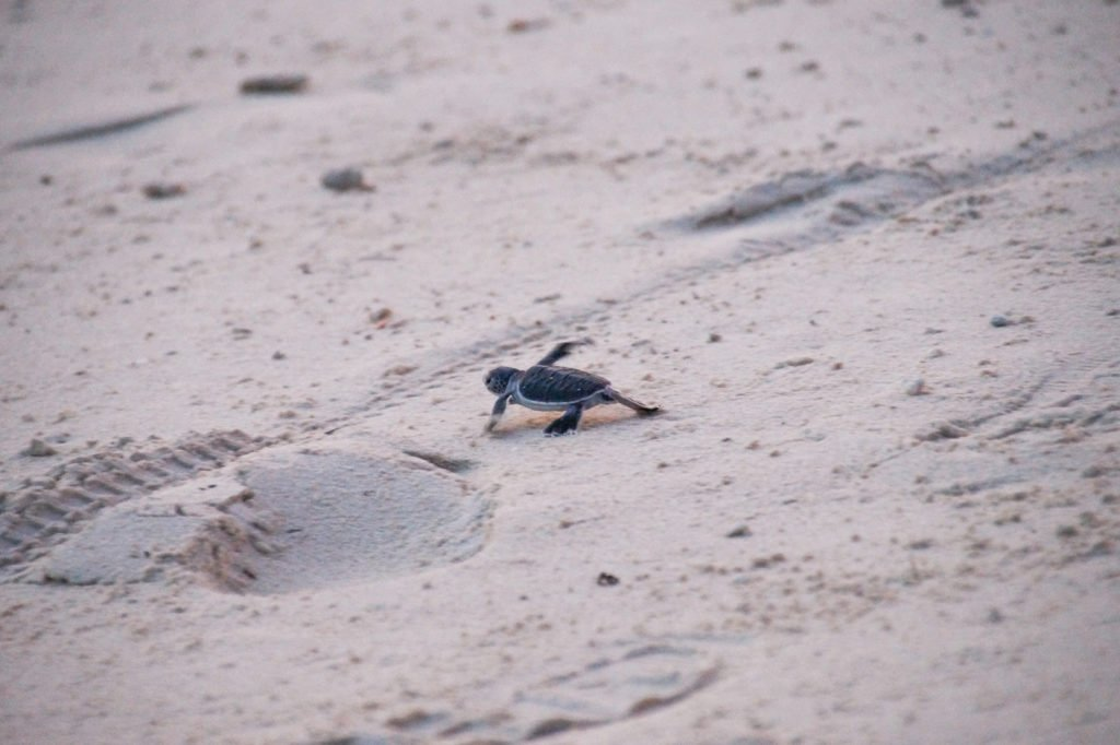 a small baby turtle running on the white sand on Selingaan island