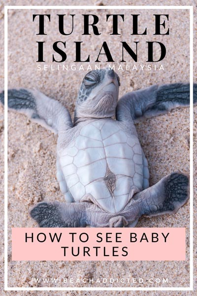 how to see baby turtles on Selingaan island in Malaysia, full guide