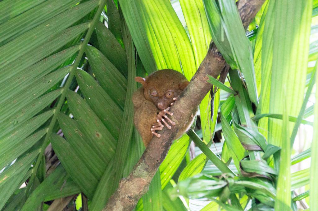 Bohol itinerary, tarsier