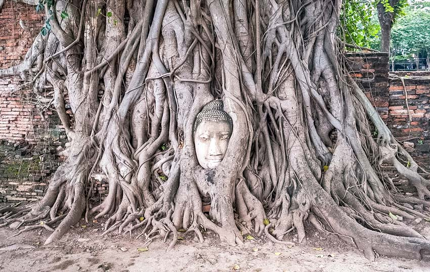 Detached Buddha head overgrown and surrounded by a tree