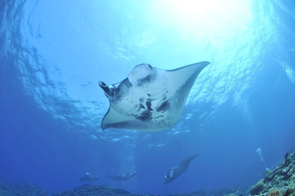 manta rays pictured from beneath while they're swimming in the ocean