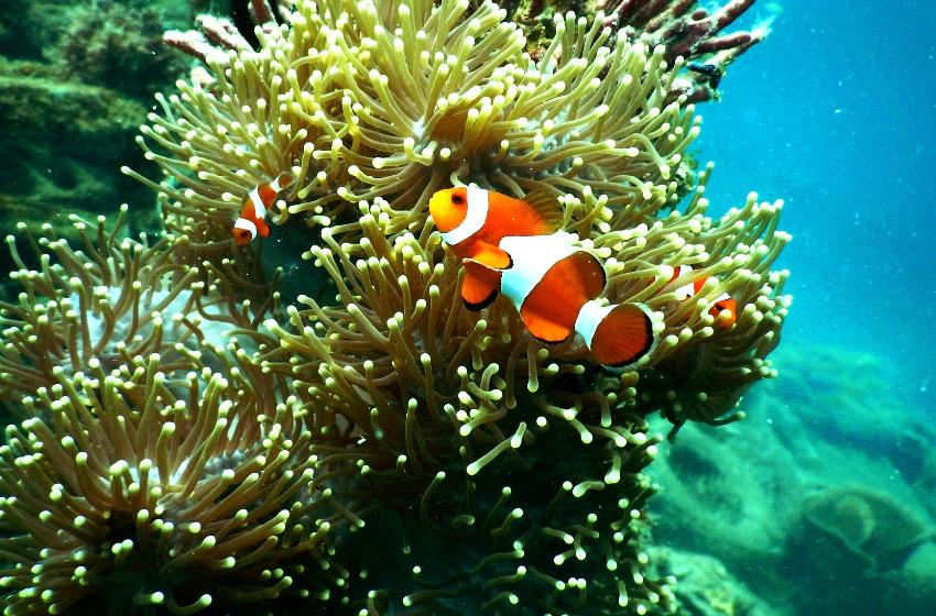 perhentian diving: Nemo #perhentianislands#perhentianislandsmalaysia#perhentianislandsdiving#malaysia#diving