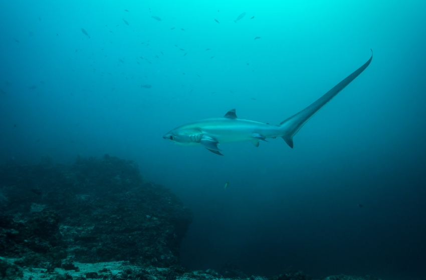 A thresher shark swimming in the blue ocean