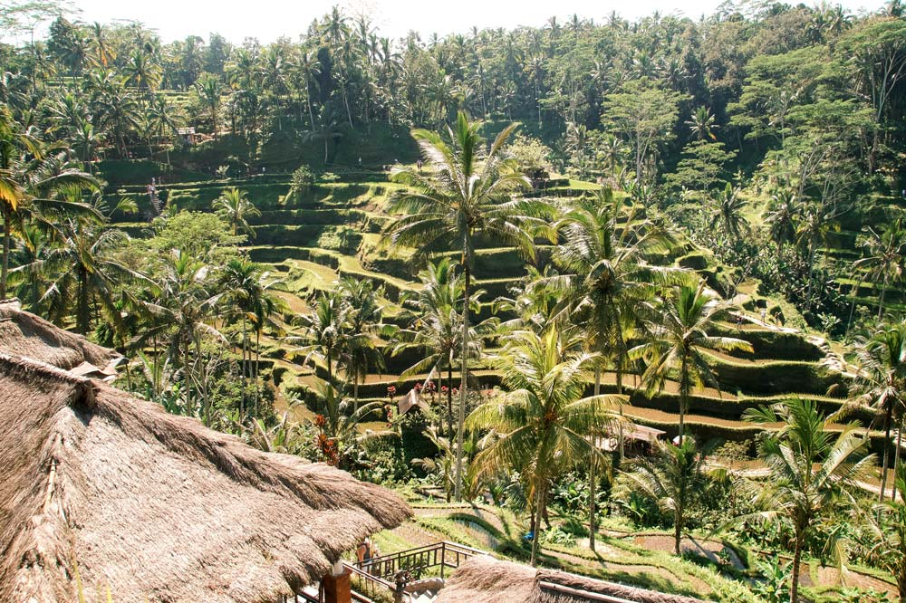 View on rice fields and palm trees. 2 week Indonesia itinerary