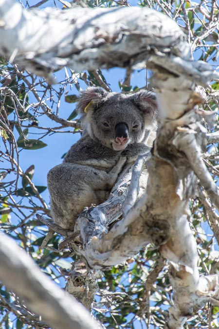 Koala in Noosa National park