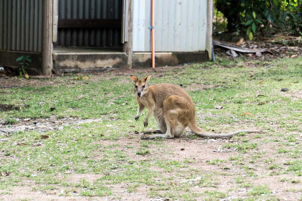 a wallabie sitting on grass at a campsite on magentic island