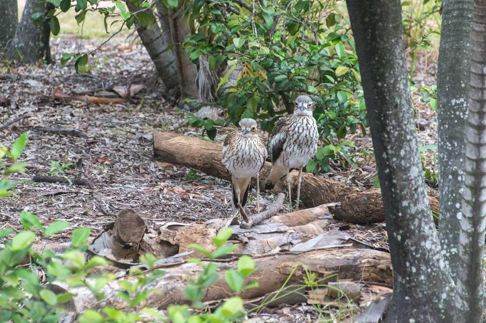 two birds walking around in the bush