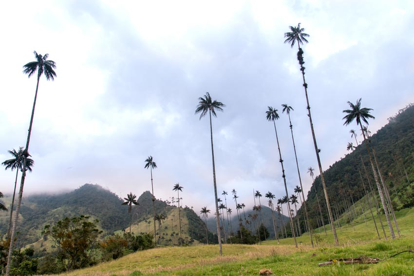 a view on tall palm trees in the Valle de Cocora