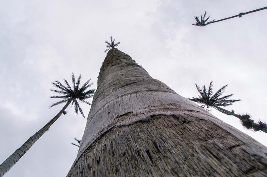 the view from the ground on the wax palm tree