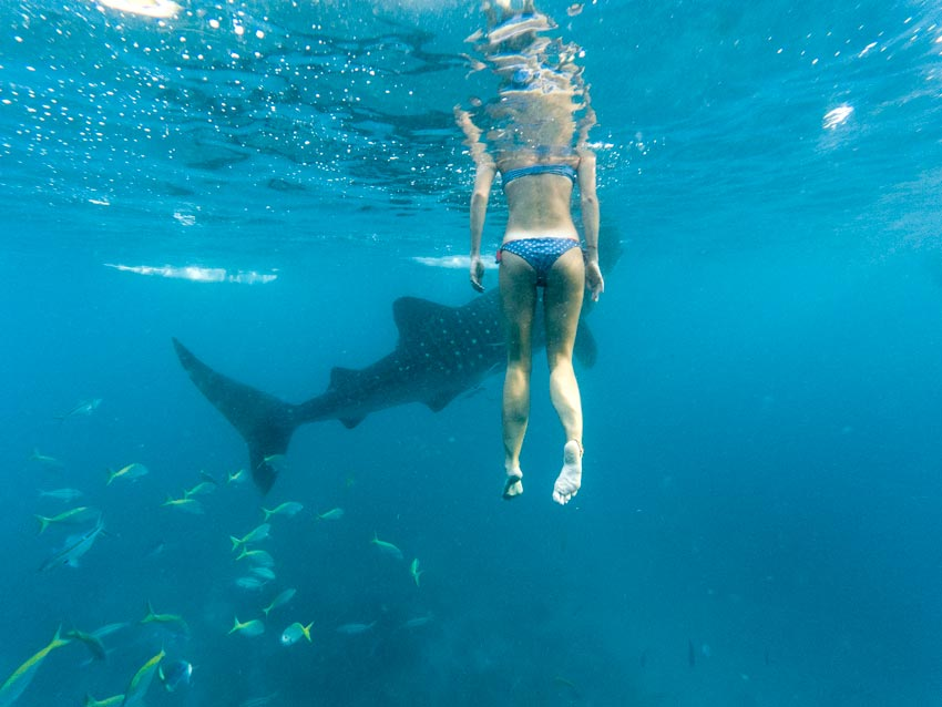 a girl swimming calmly close to whale shark in Oslob