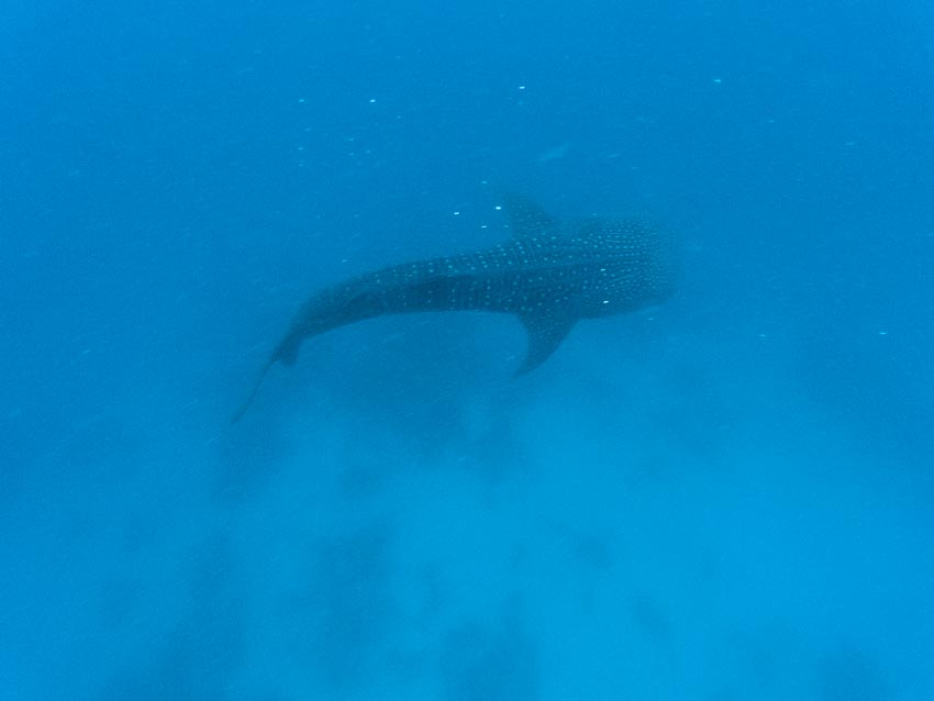whale shark swimming at the bottom of the blue ocean