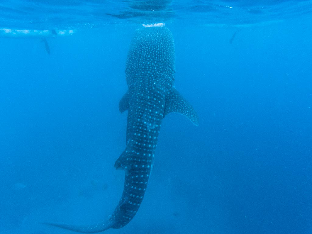 whale shark swimming in the ocean in Oslob