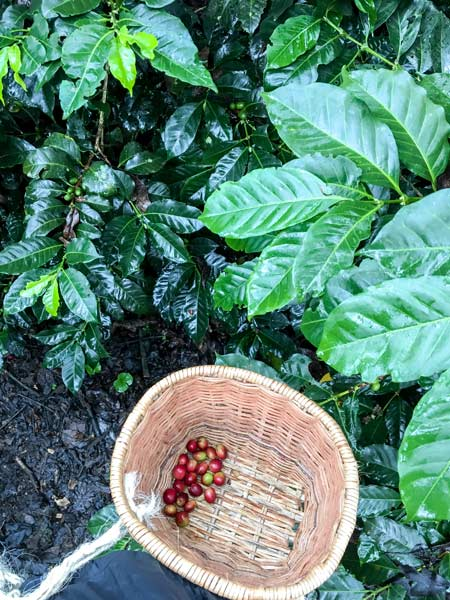 bag of red coffee beans in the wooden basket in Salento