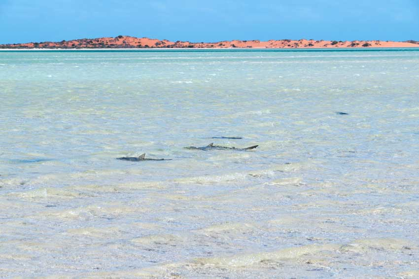 4 reef sharks swimming in shallow blue water