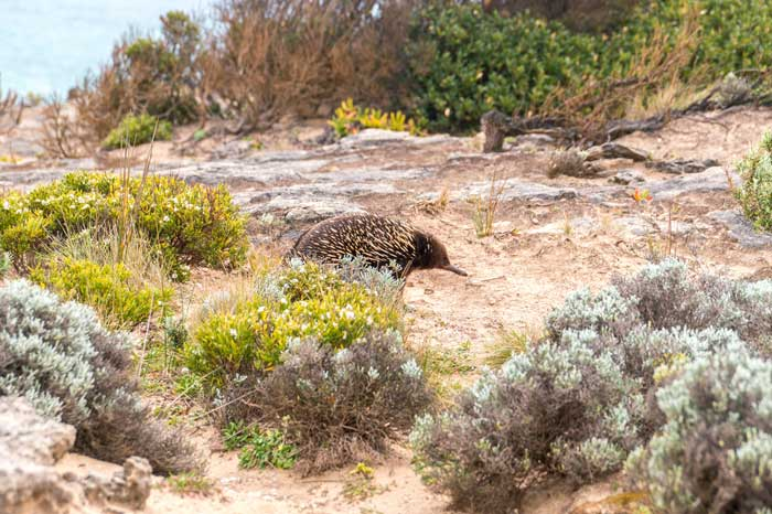 cute echidna spotted on the Great Ocean Road walking trail surrounded by green vegetation