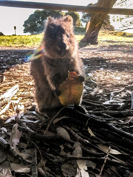 smiling quokka holding a leave