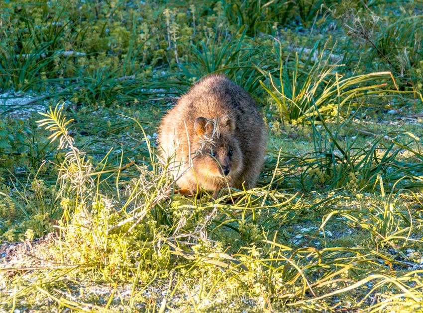 quokka sitting in the green grass on Rottnest Island