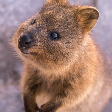 cute quokka smiling