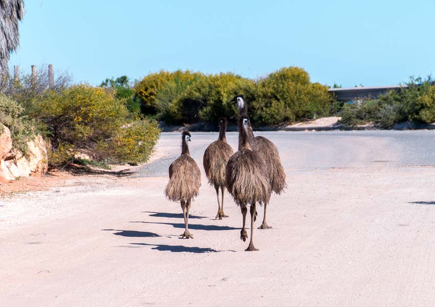4 emus running on the road surrounded by a green bush