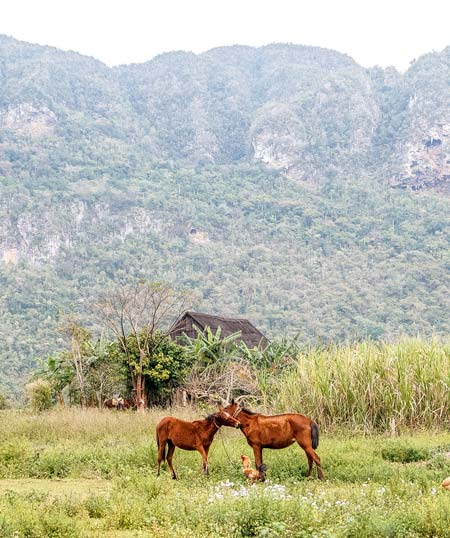 two brown horses and chicken in front of green mountains and grass