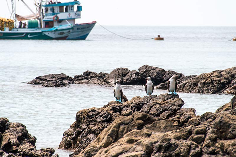blue boat and three birds with blue feet standing on the black rocks on isla de la plata in ecuador