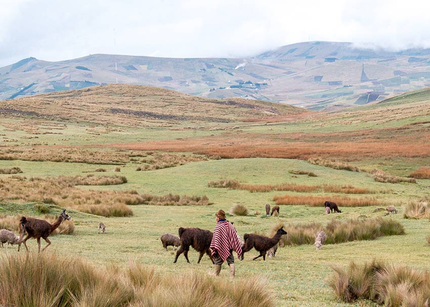 men with red coat chasing llamas, green grass and brown hills