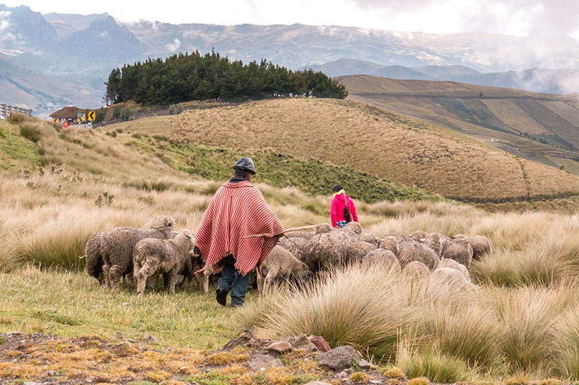men with red coat walking behind the sheep, green hills and mountains in Ecuador