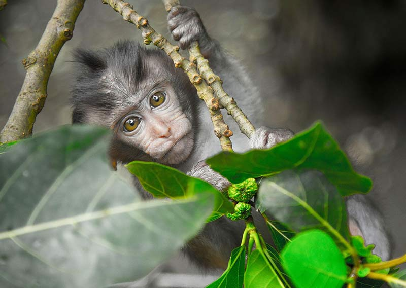 a grey monkey hanging on the green tree in Tayrona park