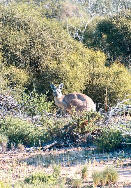 shy grey kangaroo in the middle of green bush