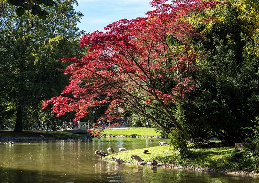 a tree with red leaves standing next to a lake in Englischer Garten, must see during your 2 days munich itinerary