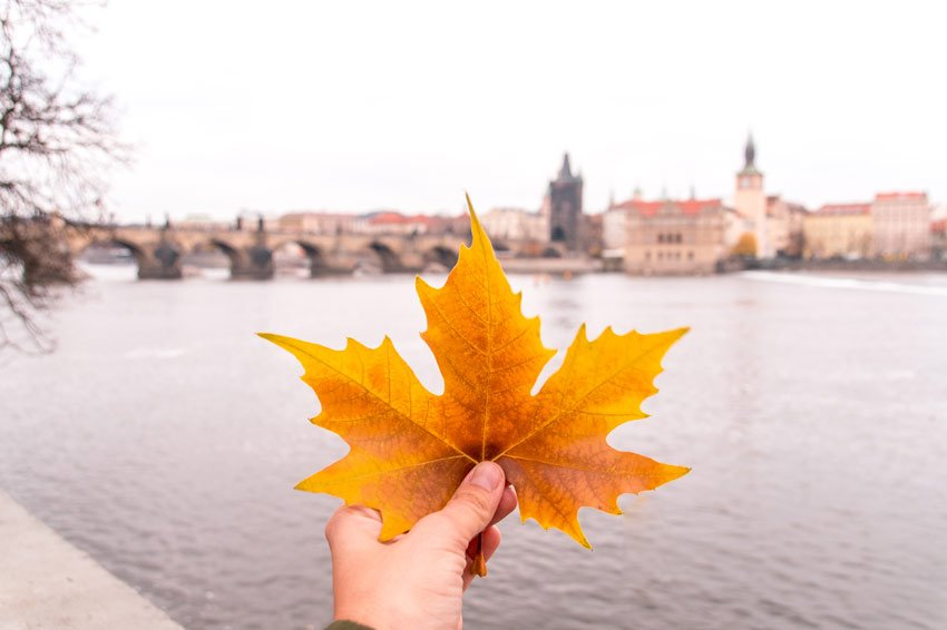 yellow leaf with a view on Charles bridge in Prague