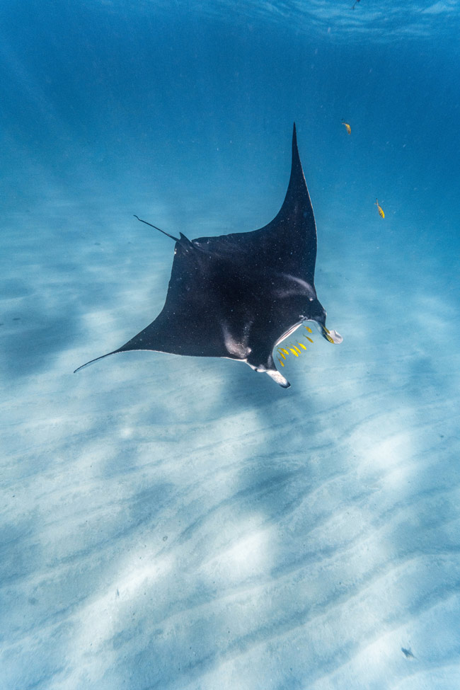 black manta ray swimming in the blue ocean surrounded by yellow fish in Ningaloo reef, one of the best things to see in Coral Bay, Australia