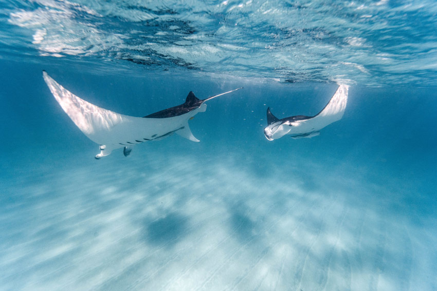 two manta rays dancing under near the surface of the Ningaloo reef