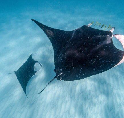 manta rays ningaloo reef