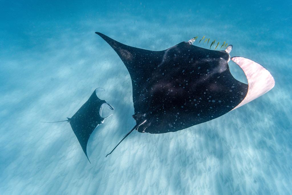 two manta rays swimming in Ningaloo reef, western Australia